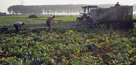 het biologische bedrijf dhaens in hulst oogst pompoenen